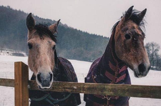 Två bruna hästar